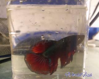 Рыбка петушок, супер дельта 4