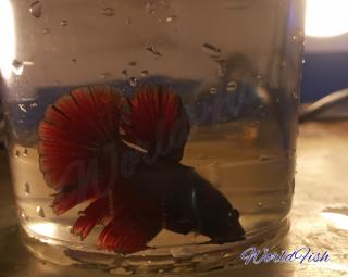 Рыбка петушок, супер дельта 2