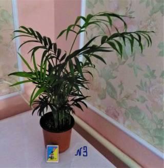 пальма хамедорея 3