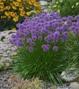 Allium Sphaerocephalon (Лук декоративный Круглоголовый) 2