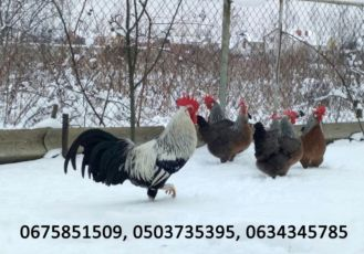 Інкубаційне яйце, курчата та кури Легорн срібний (італійська несучка).