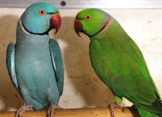 Продам ожерелового попугая!
