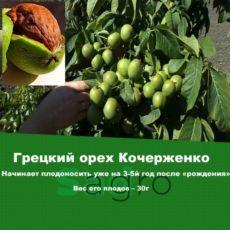 Грецкий орех Кочерженко 2х-летний сортовий