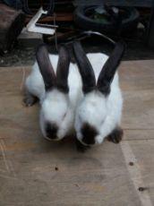 Кріличка каліфорнія кролі кроли кролики кітні кролі каліф каліфи