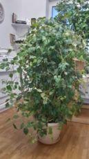 Домашняя лиана, виноград