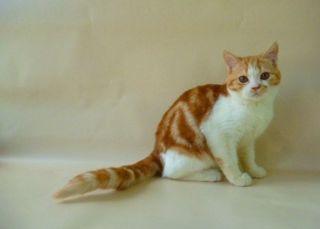 Шотландский котик. Мраморный четкий рисунок. Рыжий яркий окрас котик
