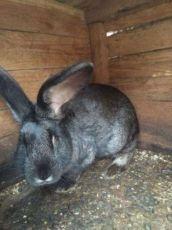 Кролики Фландеры четыре месяца, цена 350