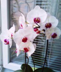Стручок орхидеи, семенная коробочка, орхидея фаленопсис