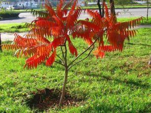 Сумах оленерогий,уксусное дерево саженцы 1-2 метра