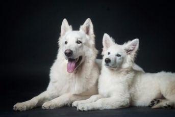 Белая овчарка, белая немецкая овчарка, белая швейцарская овчарка