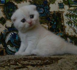 Бронируем продажу котят скоттиш фолд, рыжий мальчик и белая девочка