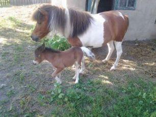 Пони. Шетлендский, шотландский мини пони.(кобыла,жеребец, кони).Ослик.