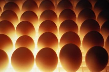 Инкубационное яйцо браун ник, ломан браун