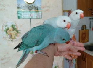 Птенцы ожерелового попугая выкормыши Всех окрасов