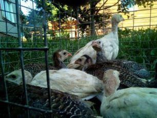 продам цыплят цесарки