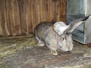 Кролі,кролики бельгійського велетня,фландр,фландер.