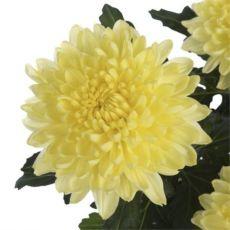 Продаю черенки (саженцы) хризантемы с Нидерландов.