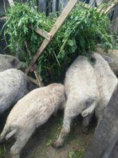Мраморные свиньи поросята свинки Мангалица