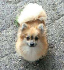 Мелли, лисичка померанский шпиц