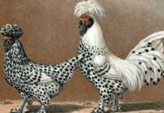 Яйца инкубационные кур породы Павловские, Павловские серебристые.