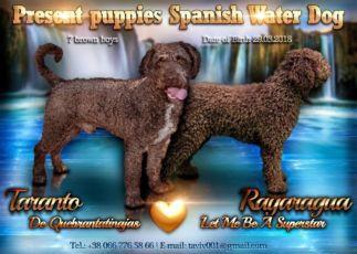 Испанская Водяная Собака шоколадные щенки. Первые в Украине!