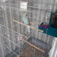 Ожереловый попугай + клетка