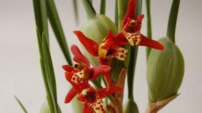 Орхидея Максиллярия тенуифолия (MAXILLARIA tenuifolia ) ароматная