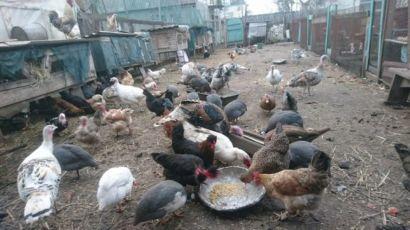 Яйце, мясо-яєчні курчата з під квочки від Домашніх курей