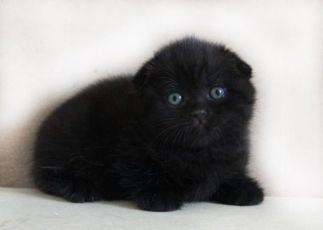 В продаже вислоухие котята черного окраса