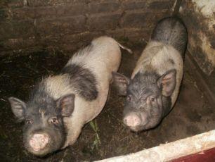 вьетнамские свиньи живым весом