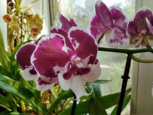 Орхидея Биг Лип Санта Клаус продам