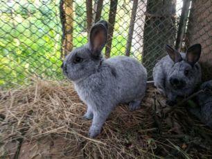 Кролики Європейське Срібло