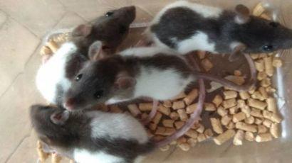 Мальчик декоративной крысы 1,5 месяца
