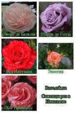 Саженцы роз,плодовые деревья