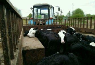 Продаю телята (бычков) на откорм