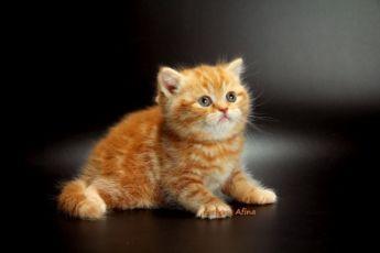 Самый щекастый рыжий котенок из Киева! Видео!
