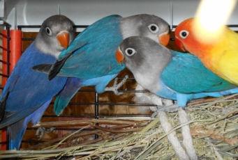 Попугай неразлучники фіолетові, сині маскові. Можлива доставка