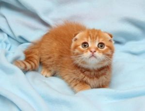 Совершенно плюшевый рыжий вислоухий котенок продается в Киеве