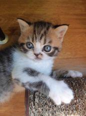 Котёнок тигрёнок