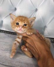 Супер эксклюзив, котёнок Саванна Ф1 в рыжем окрасе, красная Ашера