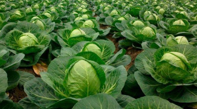 Требуются люди для сбора овощей