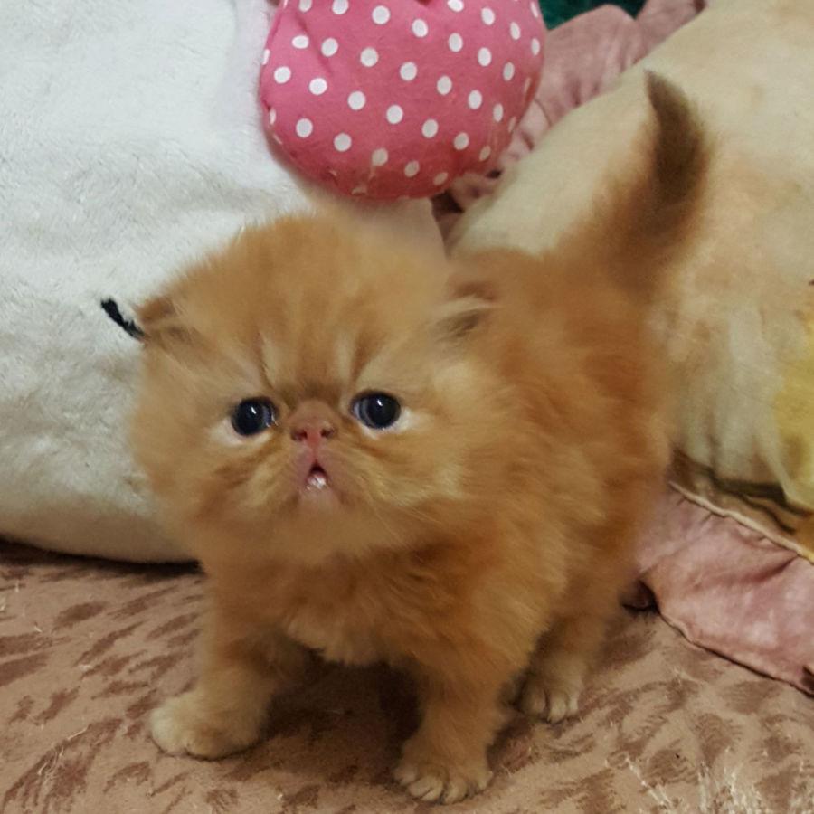 Малыши персидские котята