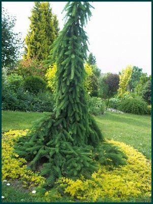 ялина плакуча інверса Picea Abies Pendula Inversa 50 70см ель 380
