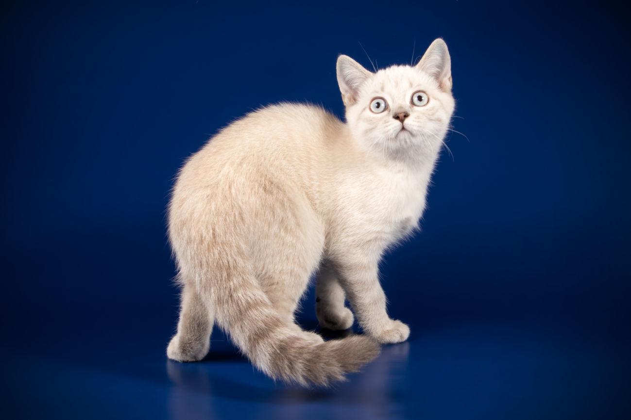 Шотланский котенок девочка от интер чемпиона