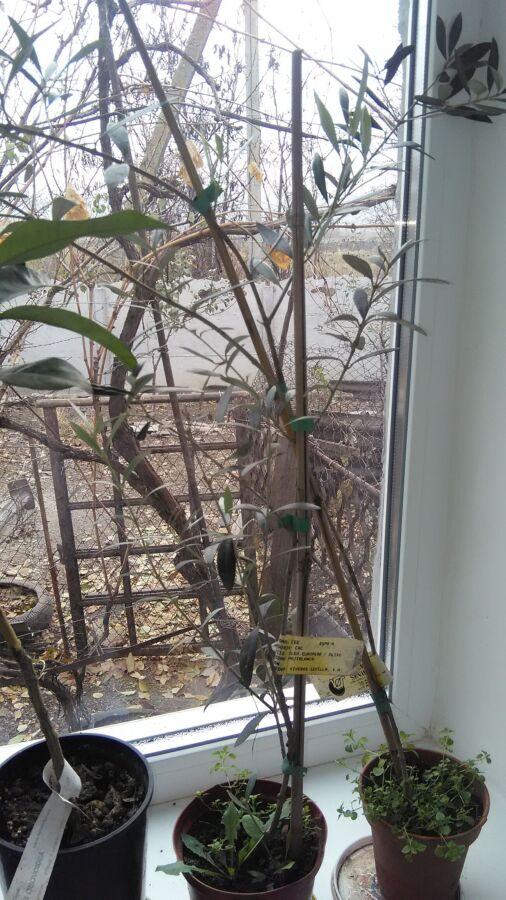 Саджанці оливок