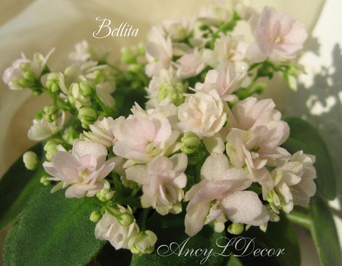 Фиалки сортовые, детка стартер Bellita - бело-розовые розочки полумини