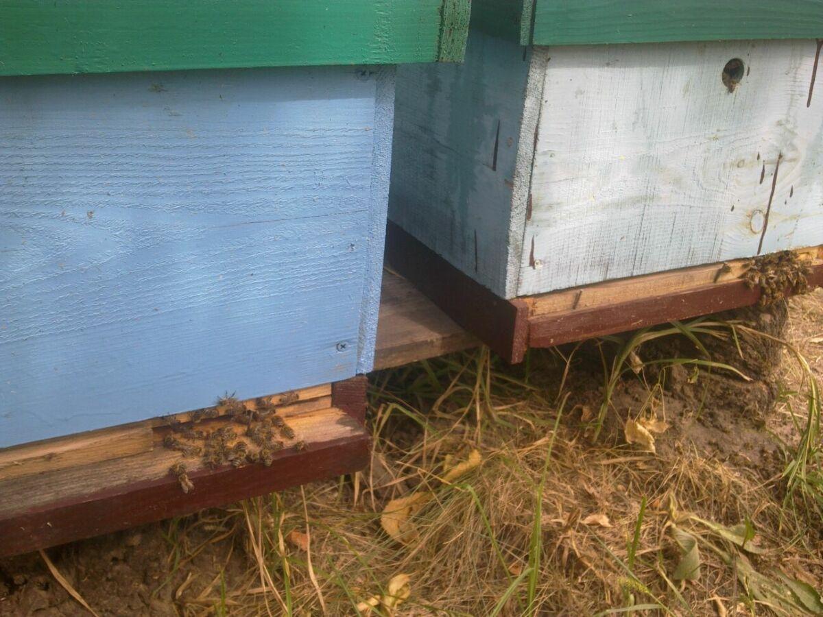 Продам пчелосемьи (карника, бекфаст), пасеку