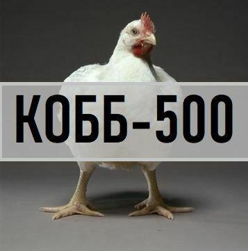 Яйце. Бройлер крос КОББ-500 з Угорщини