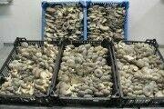 продам грибы вешенки и отработанные блоки