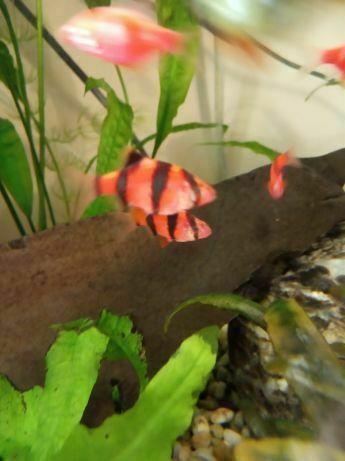 70be01d1cf2685 Барбус GloFish червоний рибка акваріумна: 20 грн. - Акваріумні рибки ...